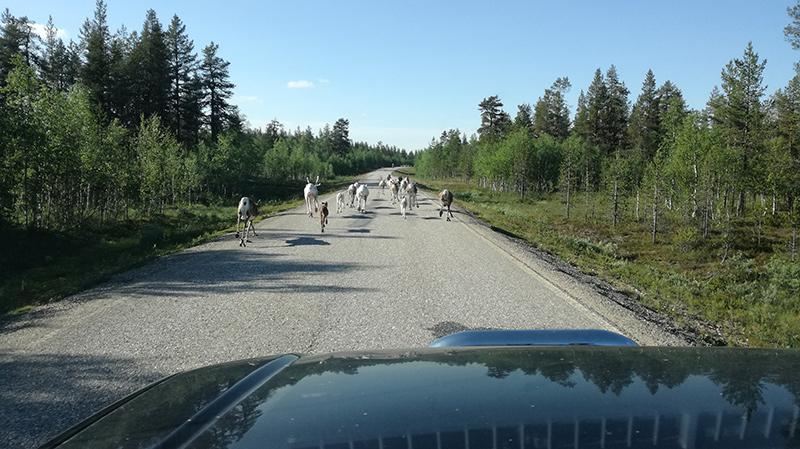 Stádo sobů - Finsko
